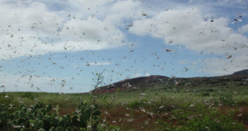 locust swarm evolution