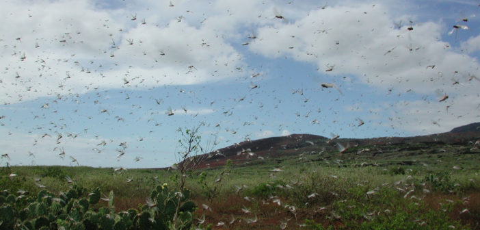 locust swarm evolution